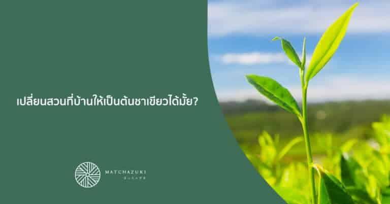 เปลี่ยนสวนที่บ้านให้เป็นต้นชาเขียวได้มั้ย?